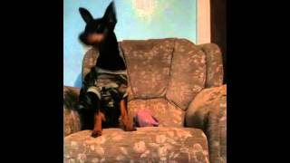 Miniature Pinscher Learning Touch