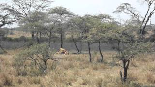 lions fight crocodile for zebra lunch