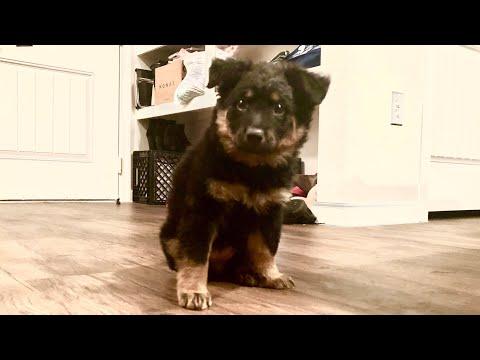 Meet Coco- blue heeler &  German shepherd mixed puppy