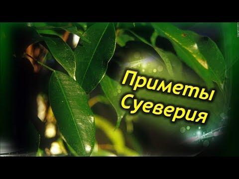 ФИКУС В ДОМЕ!  Приметы и суеверия связанные с Фикусом Бенджамина!