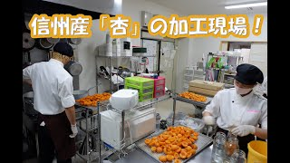 【プロの現場】信州産杏のシロップ漬け作業!