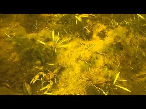 Bass vs Crayfish