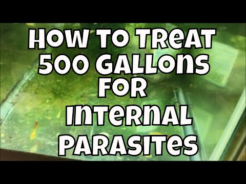 Fish room update internal parasites in the fish room and treating with Prazi Pro Prazipro