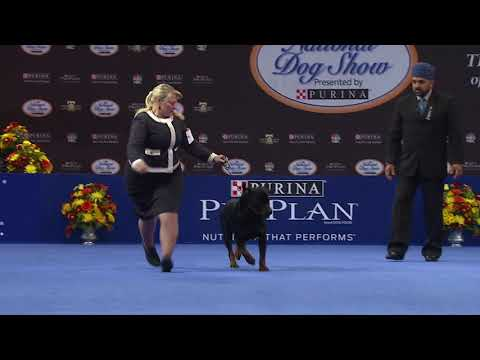 Rottweiler, 2018 National Dog Show, Working Group   NBC Sports