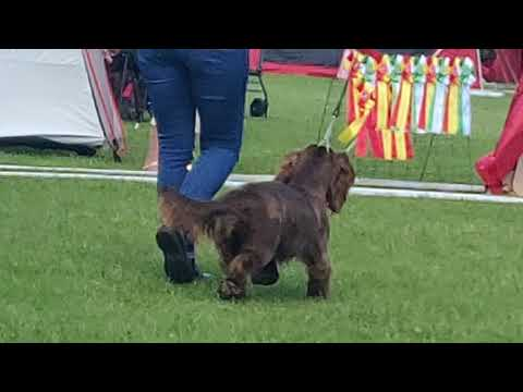Sasha the Sussex spaniel gets kvalificacion to Cruft 😍