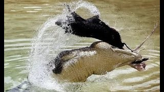 Real Animals Attack Crocodile, lion, huena, hippo - Animals fights
