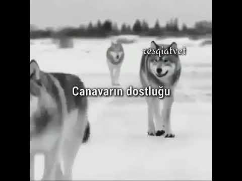 Tənha canavar