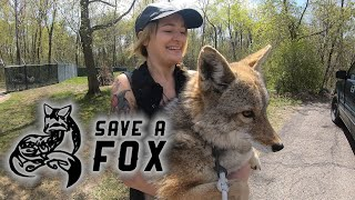 Mikayla from Save A Fox Rescue takes Dakota, a rescued COYOTE, in for a Vet check-up!