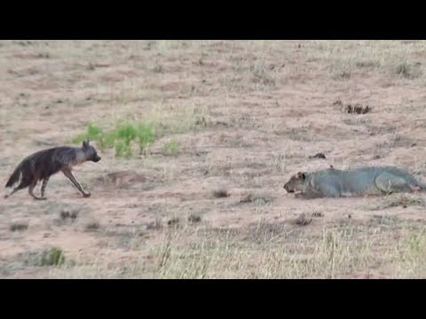 Hyena Walks Right into a Pride of Lions