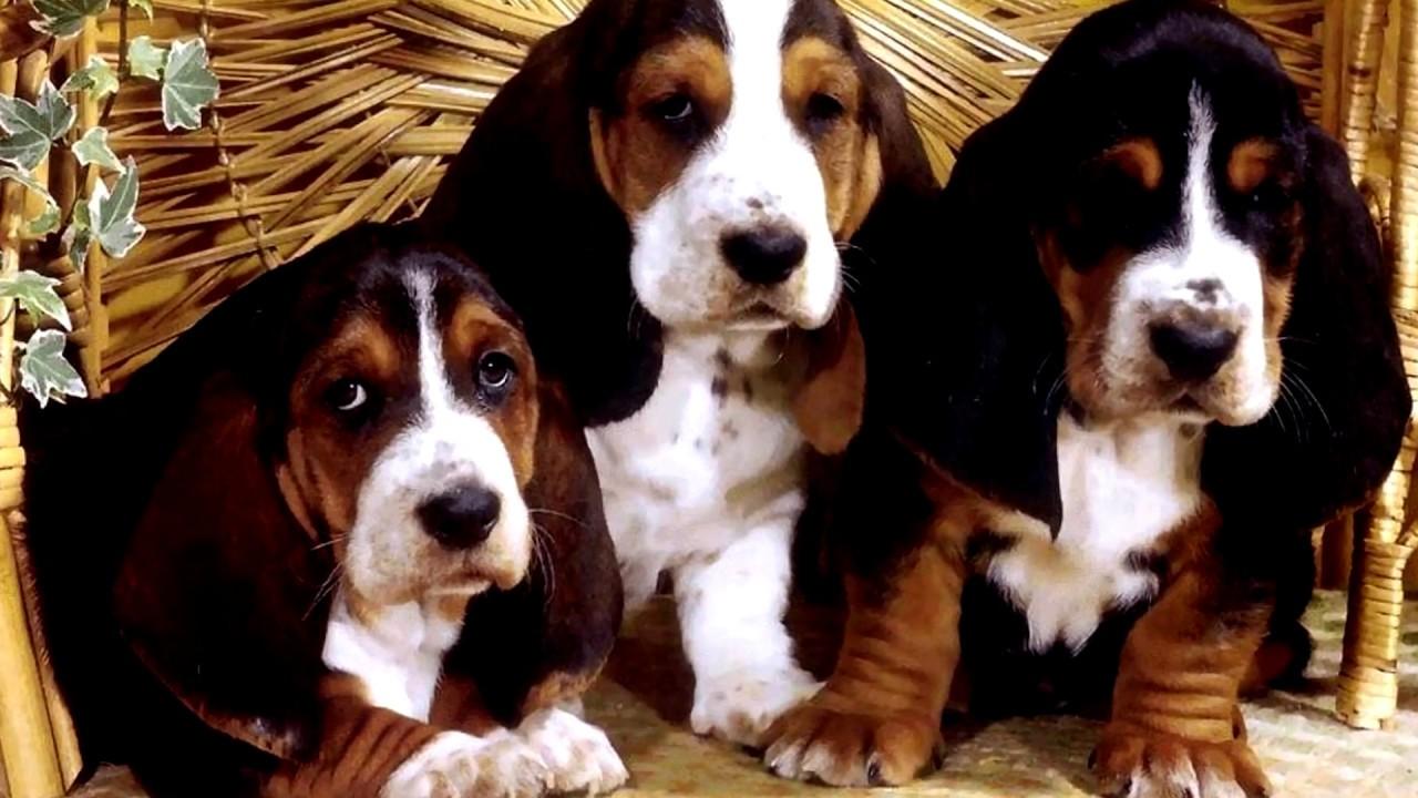 порода собак бленд хаунд