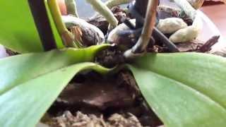 видео Орхидеи  Повреждение листьев и цветоносов
