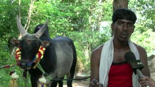 Jallikattu - Bull Fighters are Busy Training the Bull and  Waiting for the Government decision