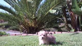 Tiny Pomeranian Female Puppy For Sale San Diego / Morkie Pups California
