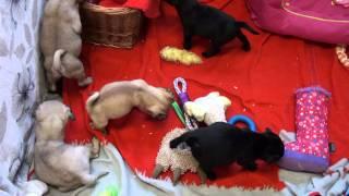 Little Rascals Uk Breeders New Litter Of 3/4 Bred Pugs