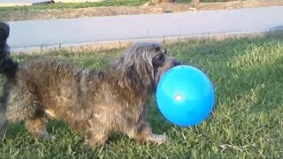 Shihtzu  Jugando Con Globos/shihtzu Playing With Balloons/shihtzu Dog