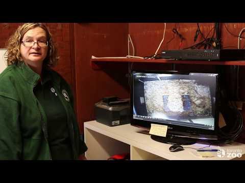Toronto Zoo Vancouver Island Marmot Breeding Program!