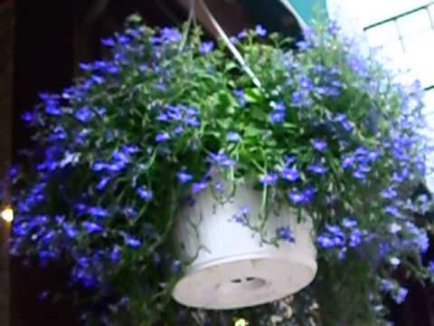 Hanging Lobelia Flowers 52414 Youtube