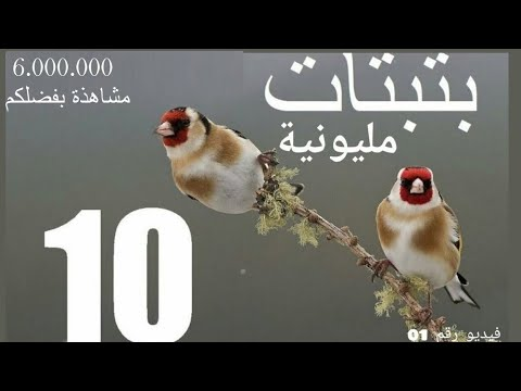 the ten wonderful chirp of the goldfinch in YouTube
