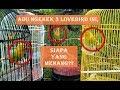 Pancingan Lovebird Ngekek Dengan Lovebird Lain Ampuh  Mp3 - Mp4 Download