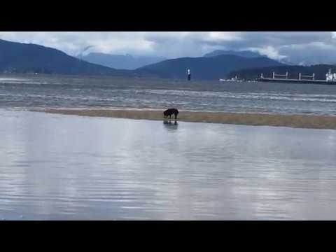 Bad Schipperke digs up a crab, then realizes the tide has come in