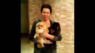 Стрижка шпица на дому. Отзыв о работе мастера ZoO`key Юлии Рублевой.
