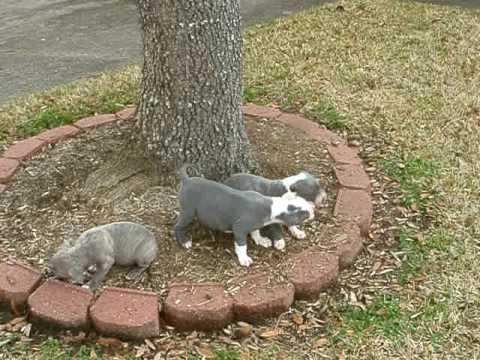 Gray Pit Bull Puppies Gotty Houston, Texas 650.00 UKC PR Certified Www.titanpitbulls.com