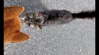 Stray kitty walks up to dog walker and asks to be adopted