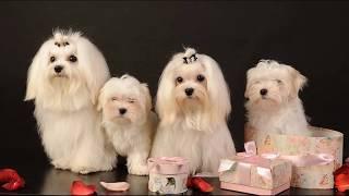 Мальтийская болонка (Maltese dog) - порода собак