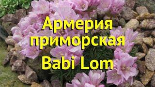 Армерия приморская Бабий Лом. Краткий обзор, описание характеристик armeria babi lom Babi Lom