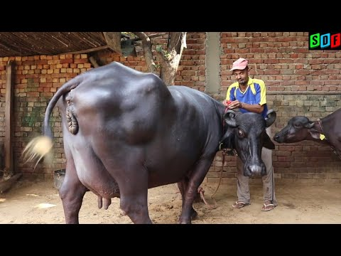 Murrah Buffalo || 24 kg milk record in HLDB || For Sale || Nasib
