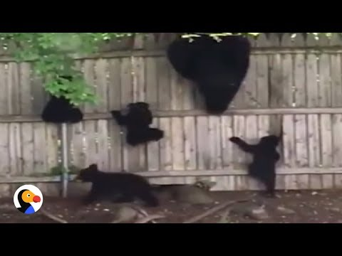 CUTEST Bear Family Climbs Fence Together | The Dodo