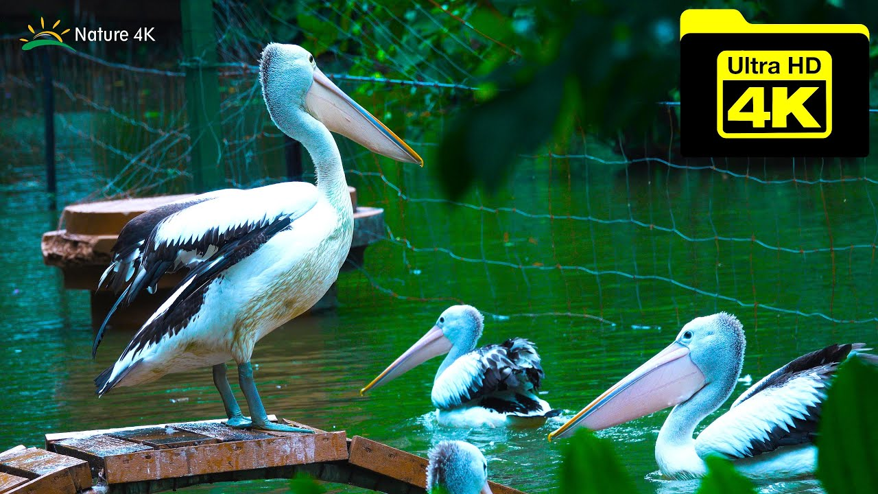 Animal hunting 4k video Surabaya Zoo Indonesia - Pelican Bird