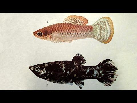 Моллинезия (Poecilia sphenops) - Аквариумные тропические рыбы № 11