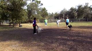 E Collar Conditioning Labrador Jax Welsh Terrier Scrappy Recall At The Dog Park