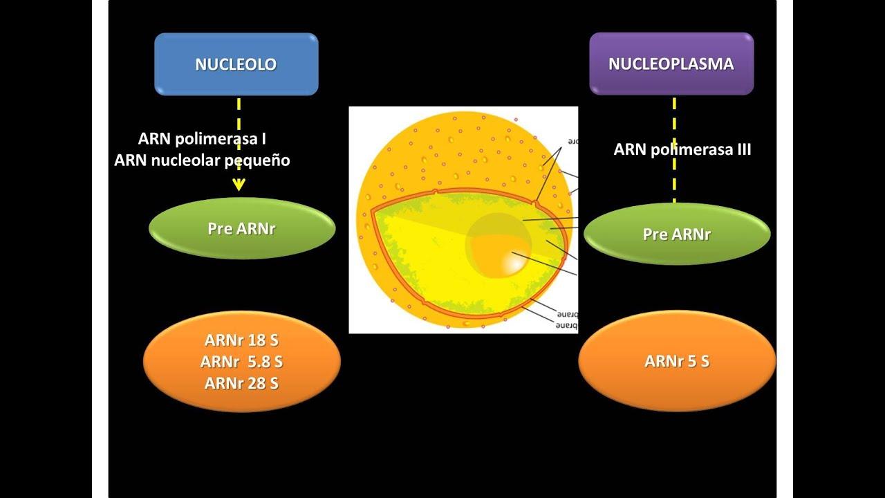 Que es el arn ribosomal y su funcion