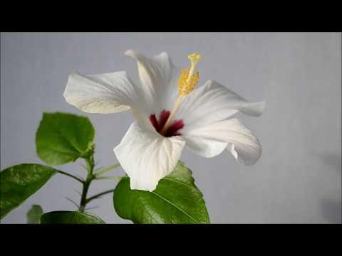 Почему не цветет гибискус? Стимулирование цветения гибискуса