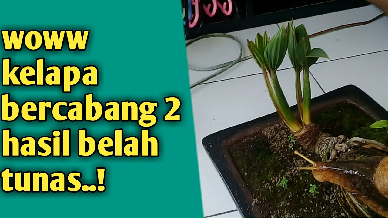 Bonsai Kelapa Bercabang 2 Hasil Belah Tunas Youtube