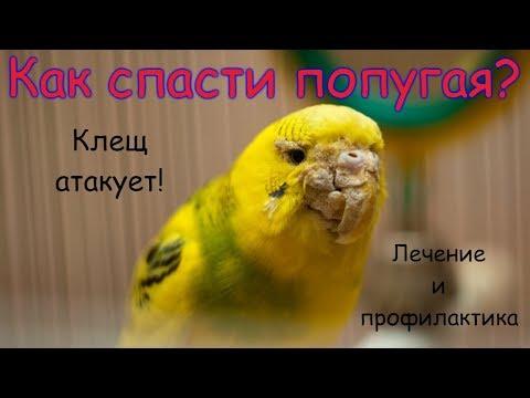 Эффективное  лечение попугая|Клещ чесоточный|Симптомы и стадии болезни|Чем лечить|