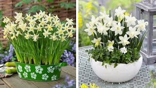 How to plant Dwarf Narcissi: Jeff Turner plants Miniature/Rockery Narcissi bulbs