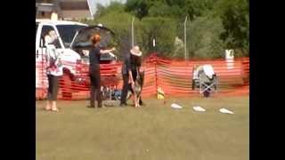 German Shepherd 1st Akc Lure Coursing Ability Test
