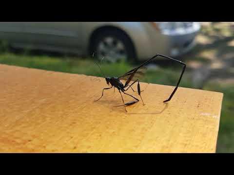Pelecinidwasp (Scorpian wasp)