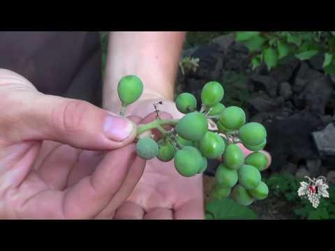 Оидиум Винограда. Как он выглядит на ягодах и виноградных листьях