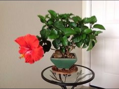 Bonsai Training Information Hibiscus Syriacus Youtube