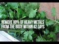 Cilantro Remove HEAVY METALS from the Body, Studies Find! Heavy Metal DETOX Using Cilantro