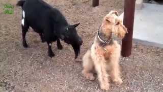 Собака Начало облизываемая по Сумасшедший Коза