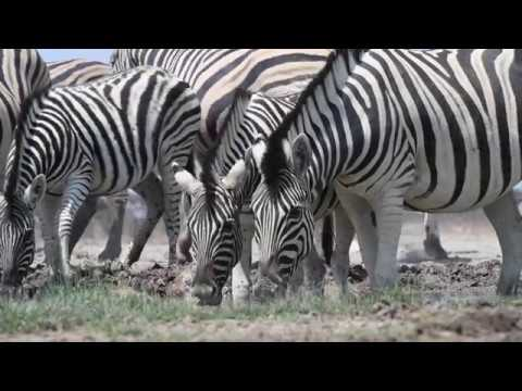 Do Zebra Stripes Deter Flies? Scientists Dressed Up Horses as Zebras