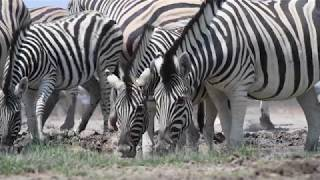 Scientists learned in recent years why zebras have black and white ...
