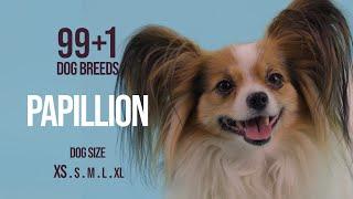 Papillon / 99+1 Dog Breeds