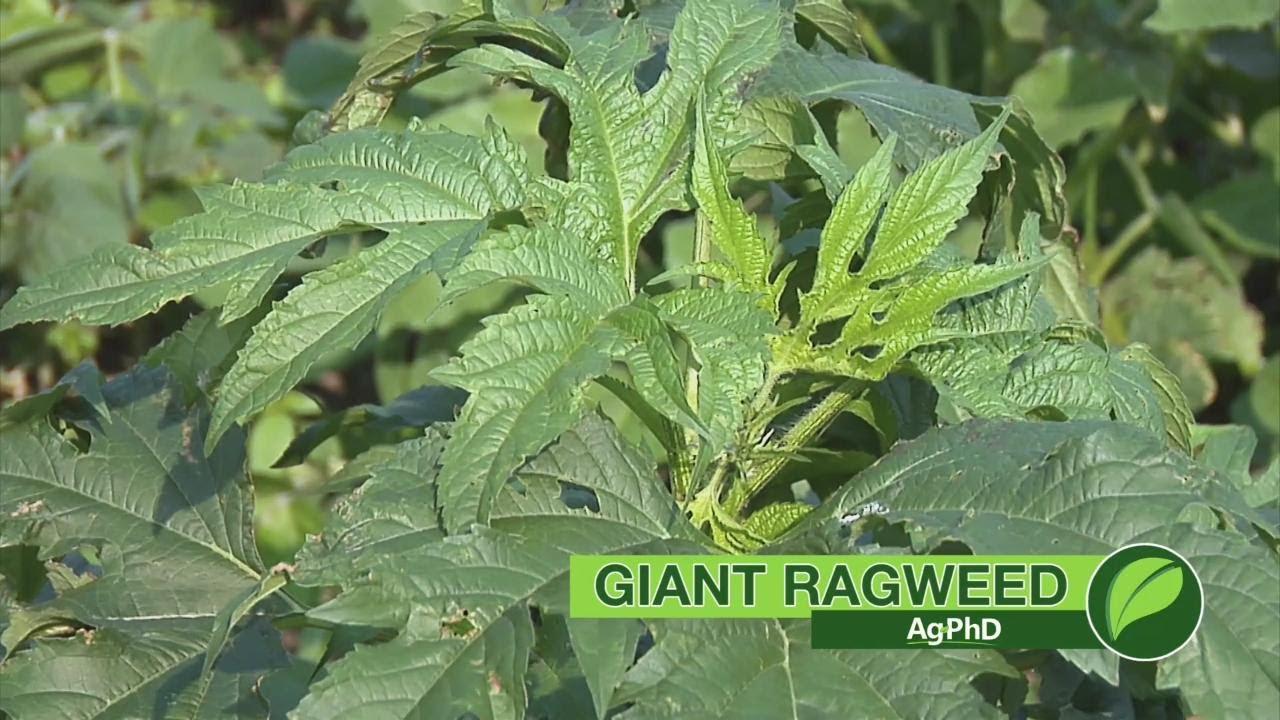 Weed Of The Week 1039 Giant Ragweed Air Date 3 4 18