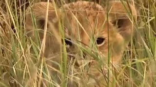Hide and Seek with the Lion Cubs | Little Big Cat | BBC